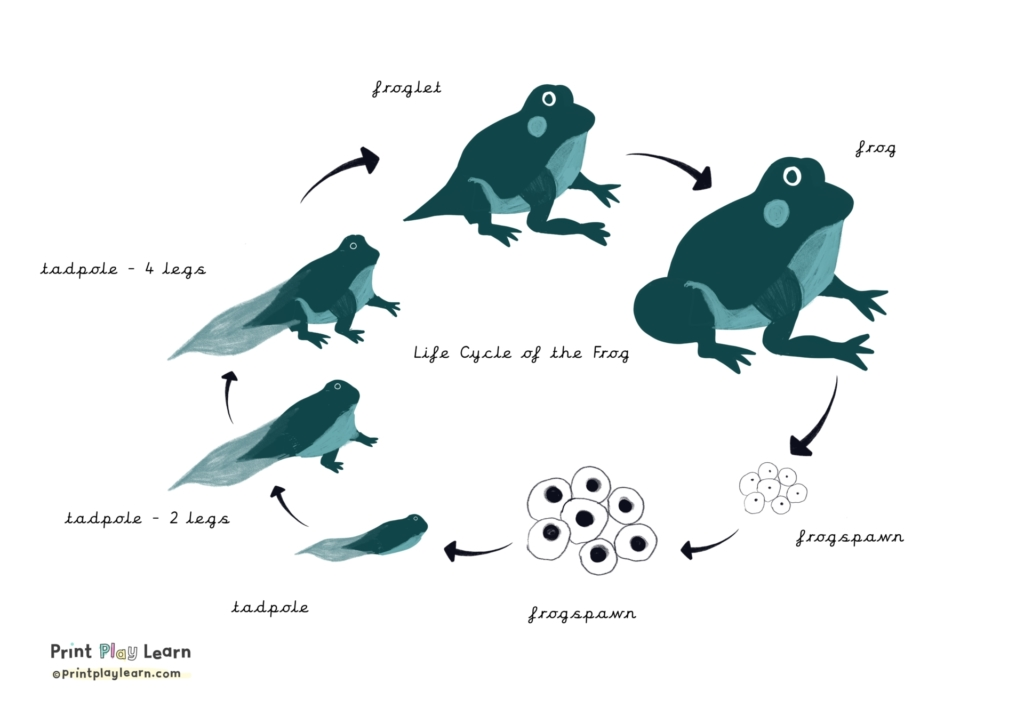 printplaylearn drawings of the life cycle of the frog black arrows point to each image frogsprawn eggs tadpole froglet frog