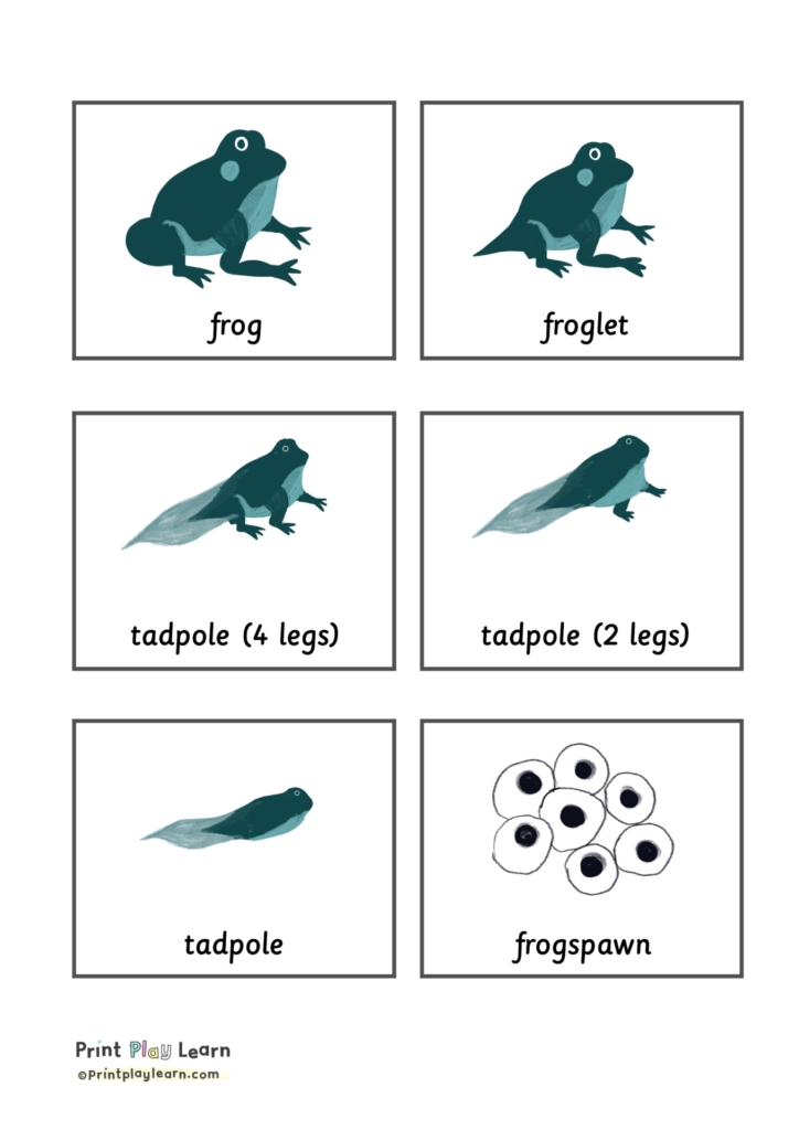 flashcards lifecycle of a frog printplaylearn