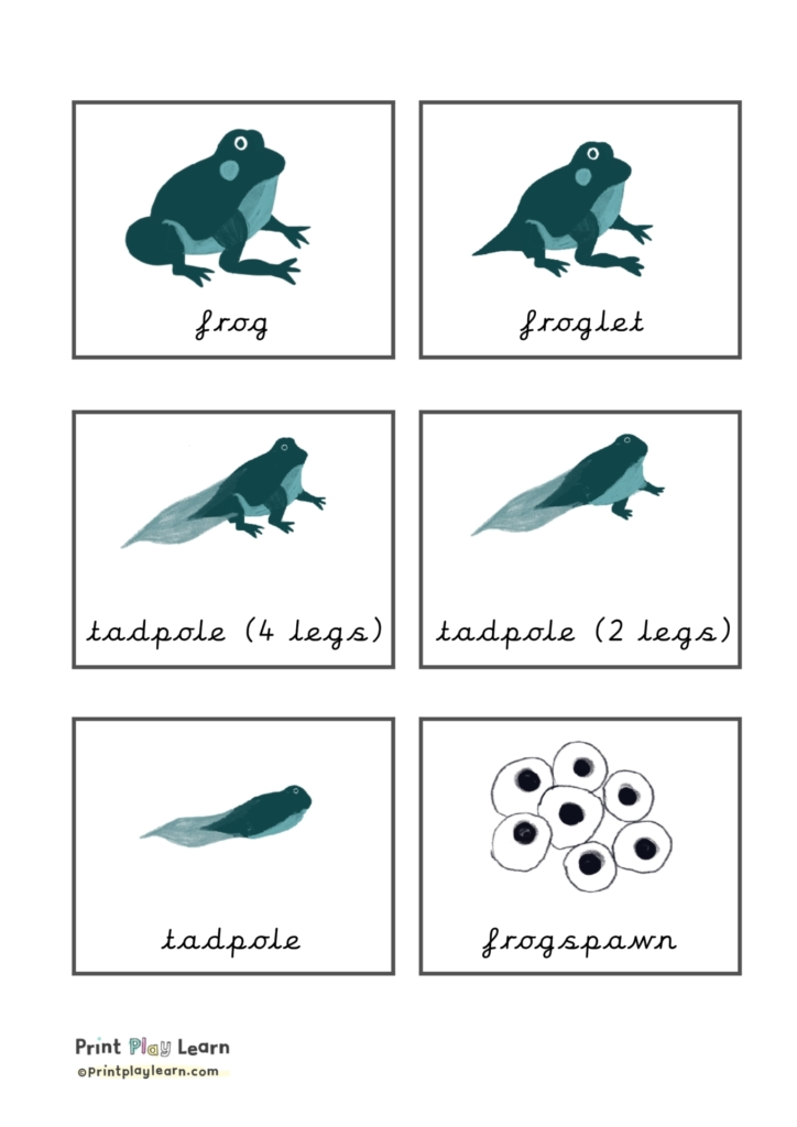lifecycle of a frog flashcards cursive printplaylearn
