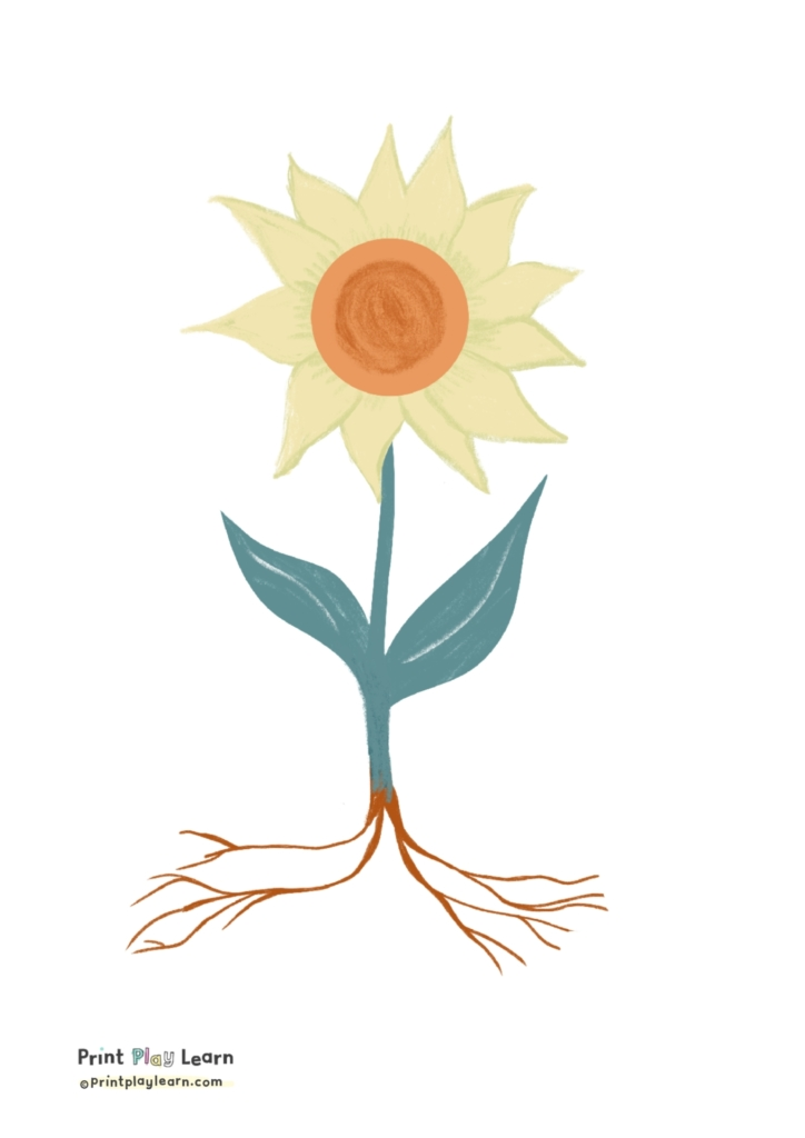 drawing of a sunflower petal leaf root stem printplaylearn