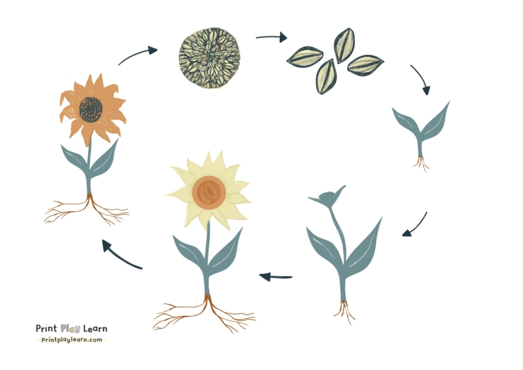 sunflower life cycle print play learn poster drawings seeds seedling bud sunflower and more