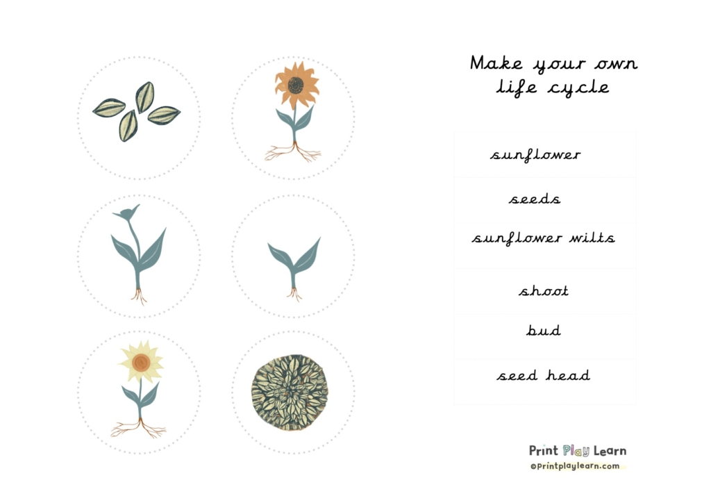 images of lifet cycle of a sunflower and words printplaylearn