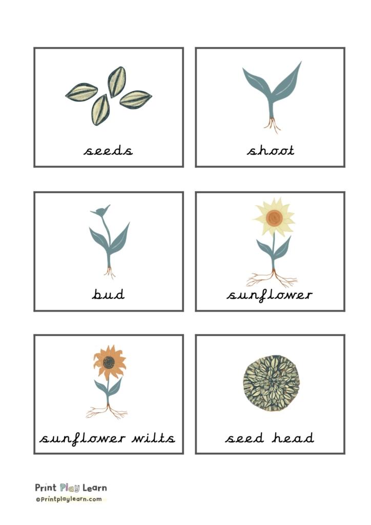 grid of 6 flaschards with sunflower seeds wilt print play learn